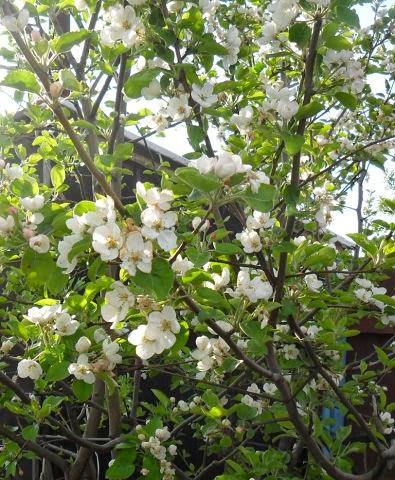 22.05 Как цветки перенесут заморозки Надеюсь, хоть что-то завяжется!