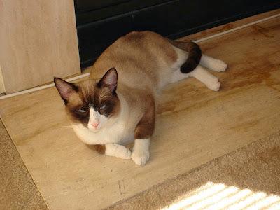 Foto kucing Snowshoe