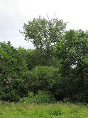 An Italian black poplar to one side of a meadow.  Keston Common grassland walk, led by Judy John.  15 June 2011.