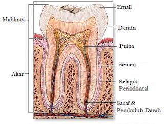 Pengertian, Fungsi, Jenis, & Bagian-Bagian Gigi