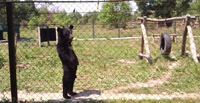Rescued bear walks upright like a human
