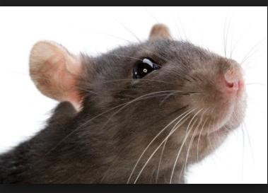 चूहे काट लें तब ये देशी आयुर्वेदिक उपचार करें