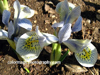 Iris reticulata close-up-Katharine Hodgkin Dwarf Irises
