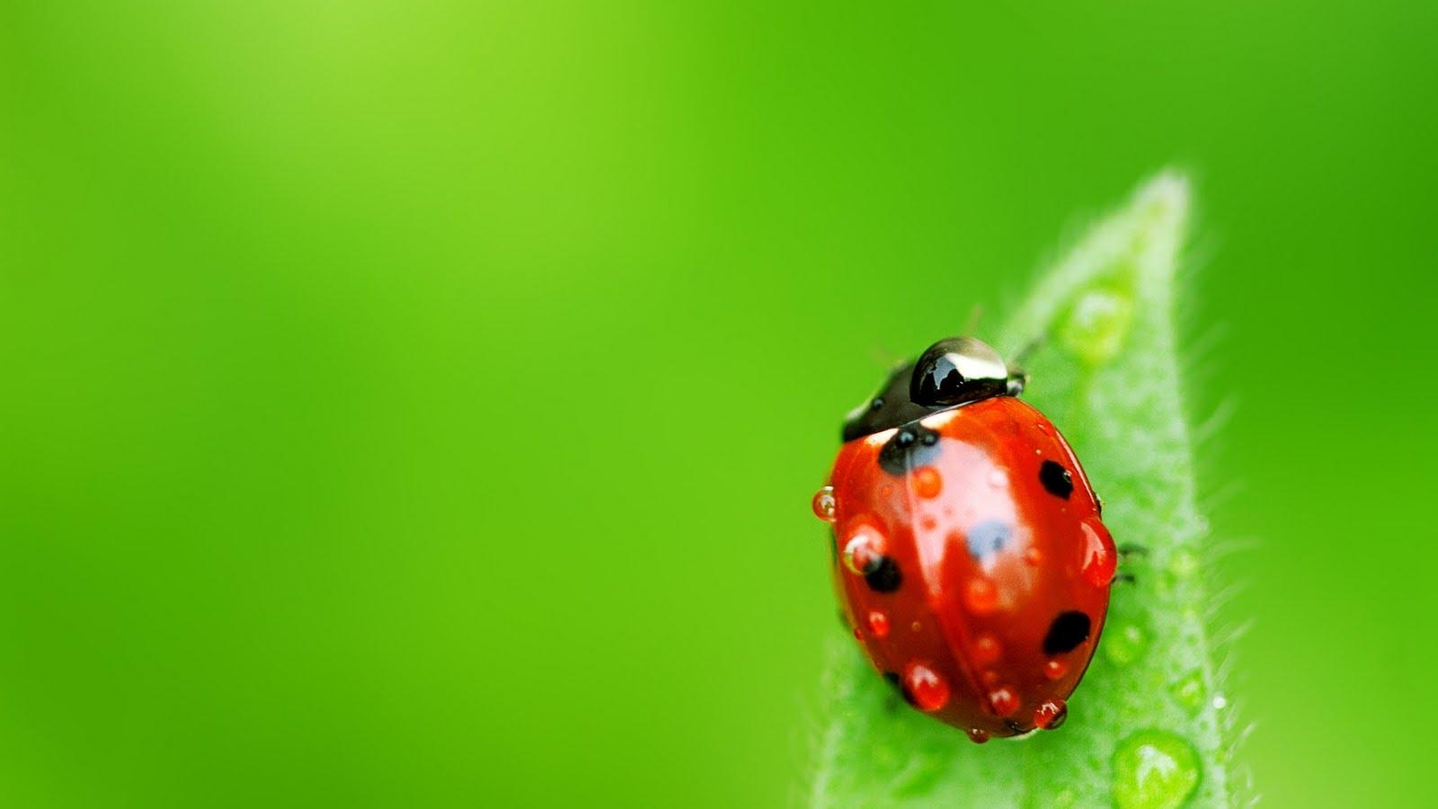 Kaliteli resim u ur b ce i resimleri hd ladybug - Coccinella foto gratis ...