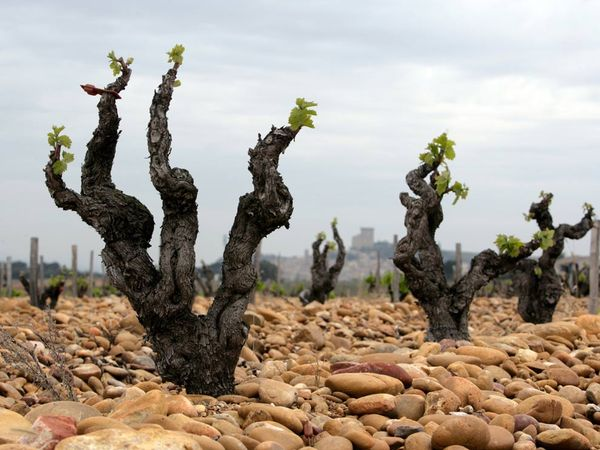 Ancient vines in the Rhone Valley