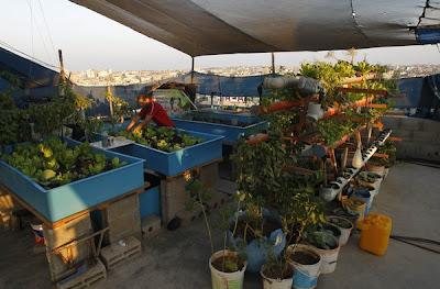 cara menanam sayur di Palestin