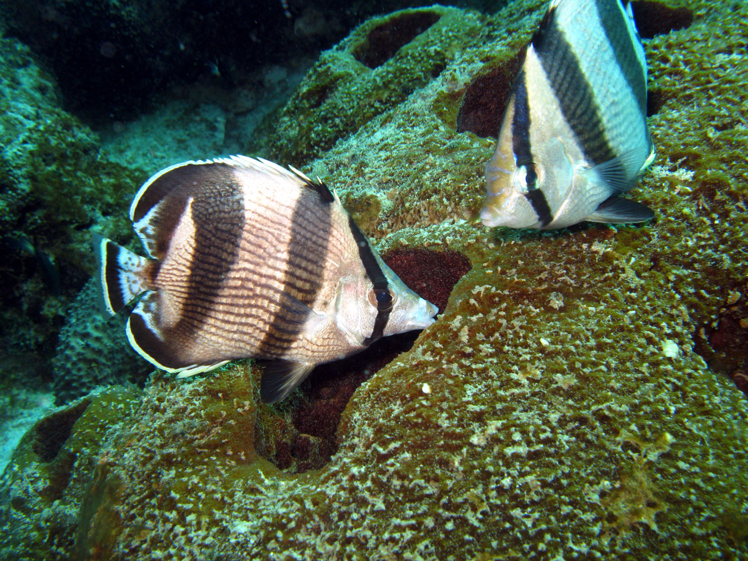 Congratulate, Info on striped butterfly fish