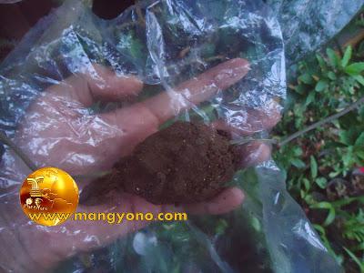 Tempelkan tanah pada buku sirih merah, Bungkus menggunakan plastik transparan.