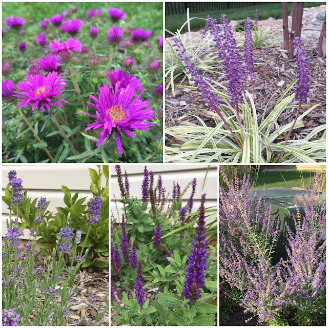 purple late summer blooms