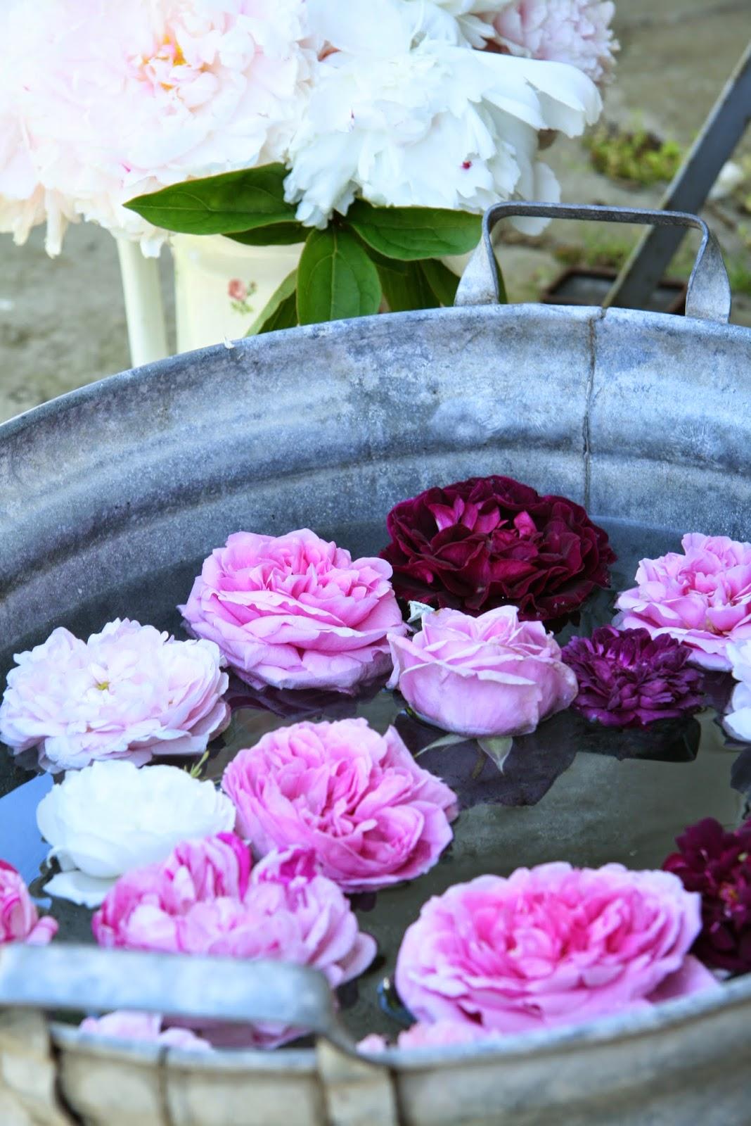 roses old roses old garden rose
