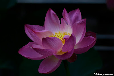 Nelumbo nucifera Lotus Floare de lotus Lotus flower Lotosblume λωτόςλουλούδι fiorediloto flordelótus flordeloto lótuszvirág
