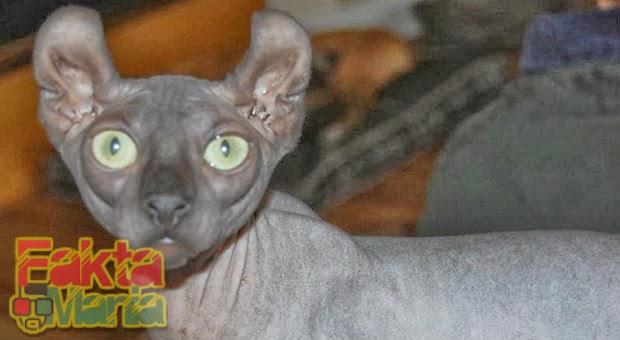 5 Bentuk Kucing Paling Aneh di Dunia