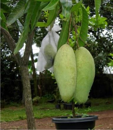 Perbedaan Mangga Arumanis, Mangga Manalagi, dan Mangga Golek