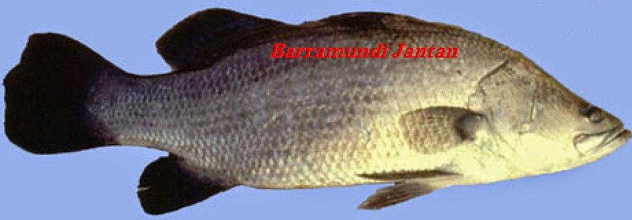 Ikan Barramundi Jantan