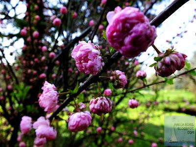 flori roz gradina botanica bucuresti
