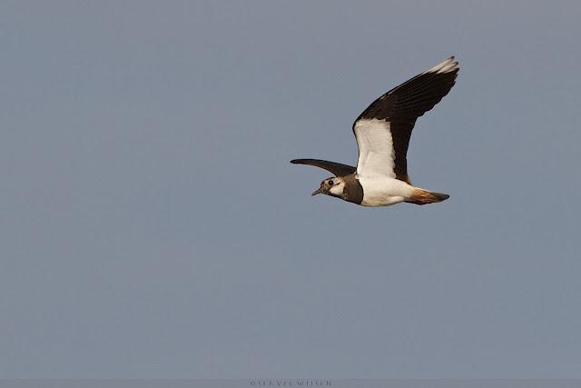 Kievit - Lapwing Vanellus vanellus