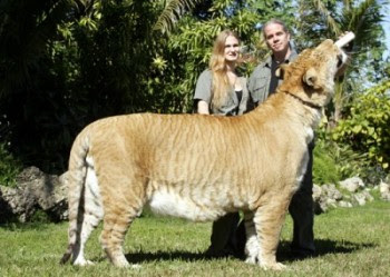 Perfect Biggest Cat In The World Guinness Records Of Kim