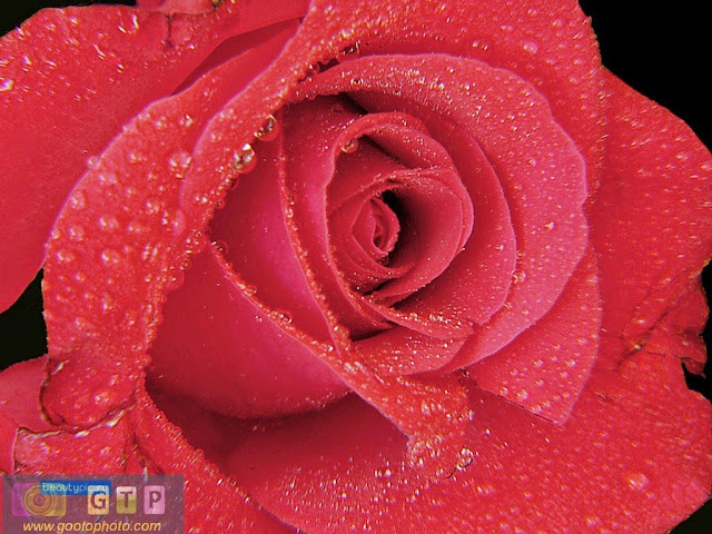 صور ورد احمر وردة جوري حمراء مبللة رائعة