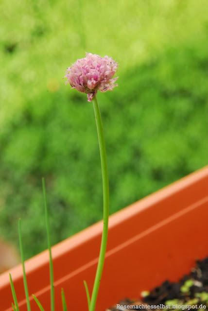 Selbst gepflanzter Schnittlauch Blüten