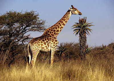 Giraffes HD Wallpapers