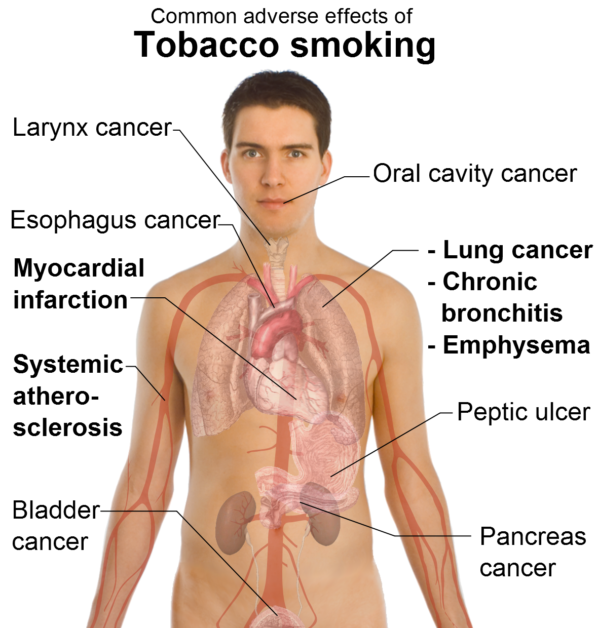 the human body and the health effects of marijuana