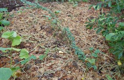 dead cucumber vines