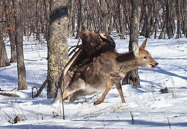 Golden Eagle Flies off with Deer