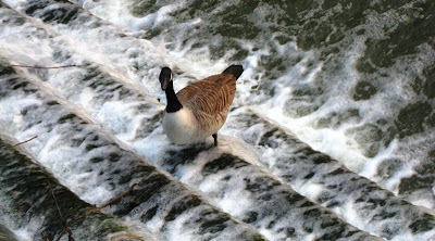 Goose standing in the water on the steps of a weir