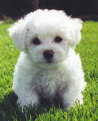 Bichon Frise Puppy Pictures Information