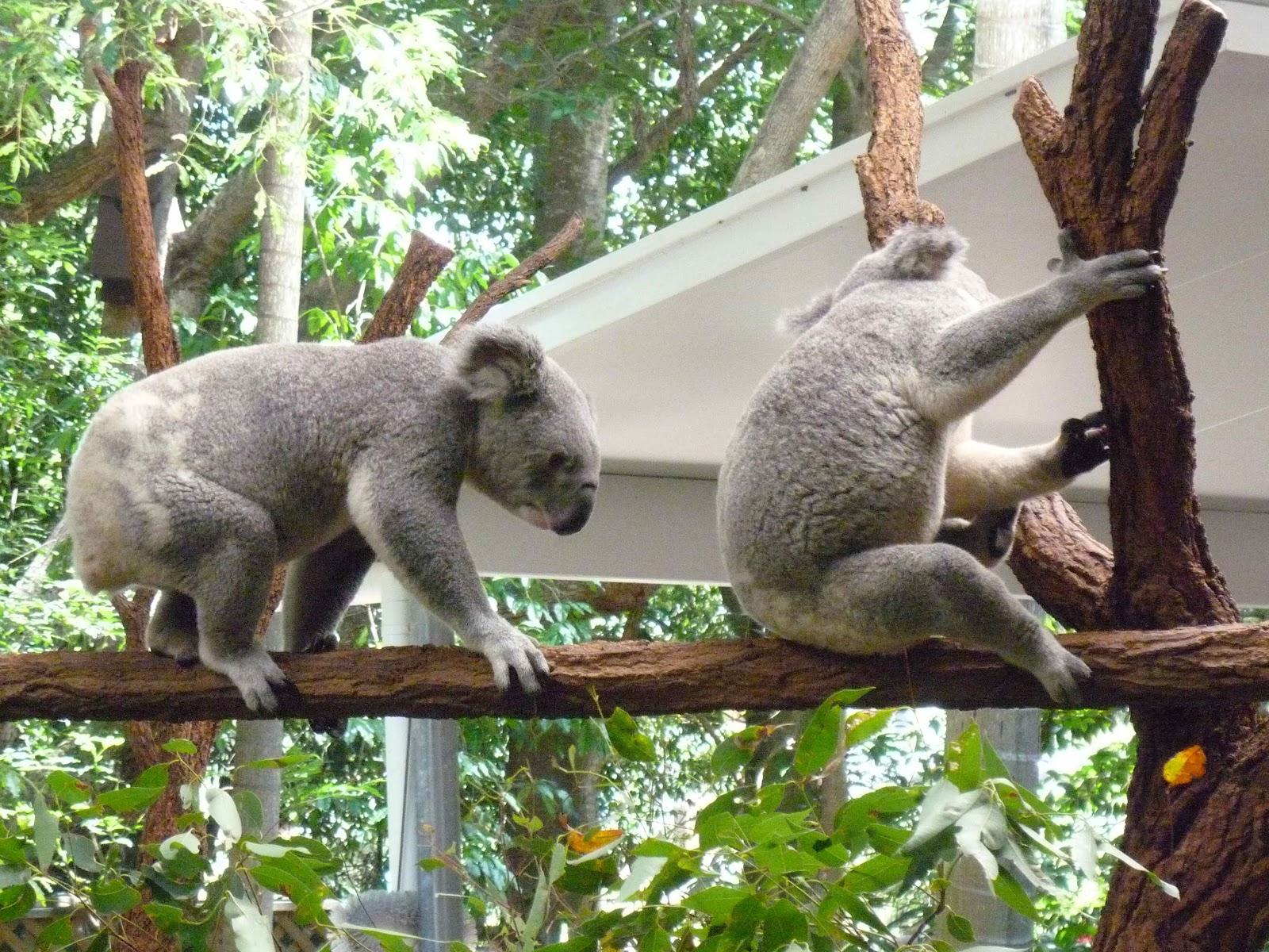 Koala tail - photo#2