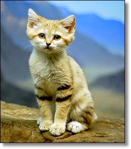 Picture of sand cat