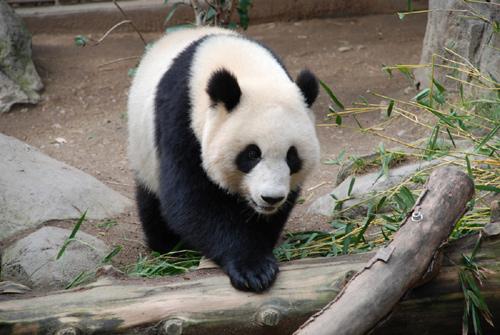 endangered panda bear