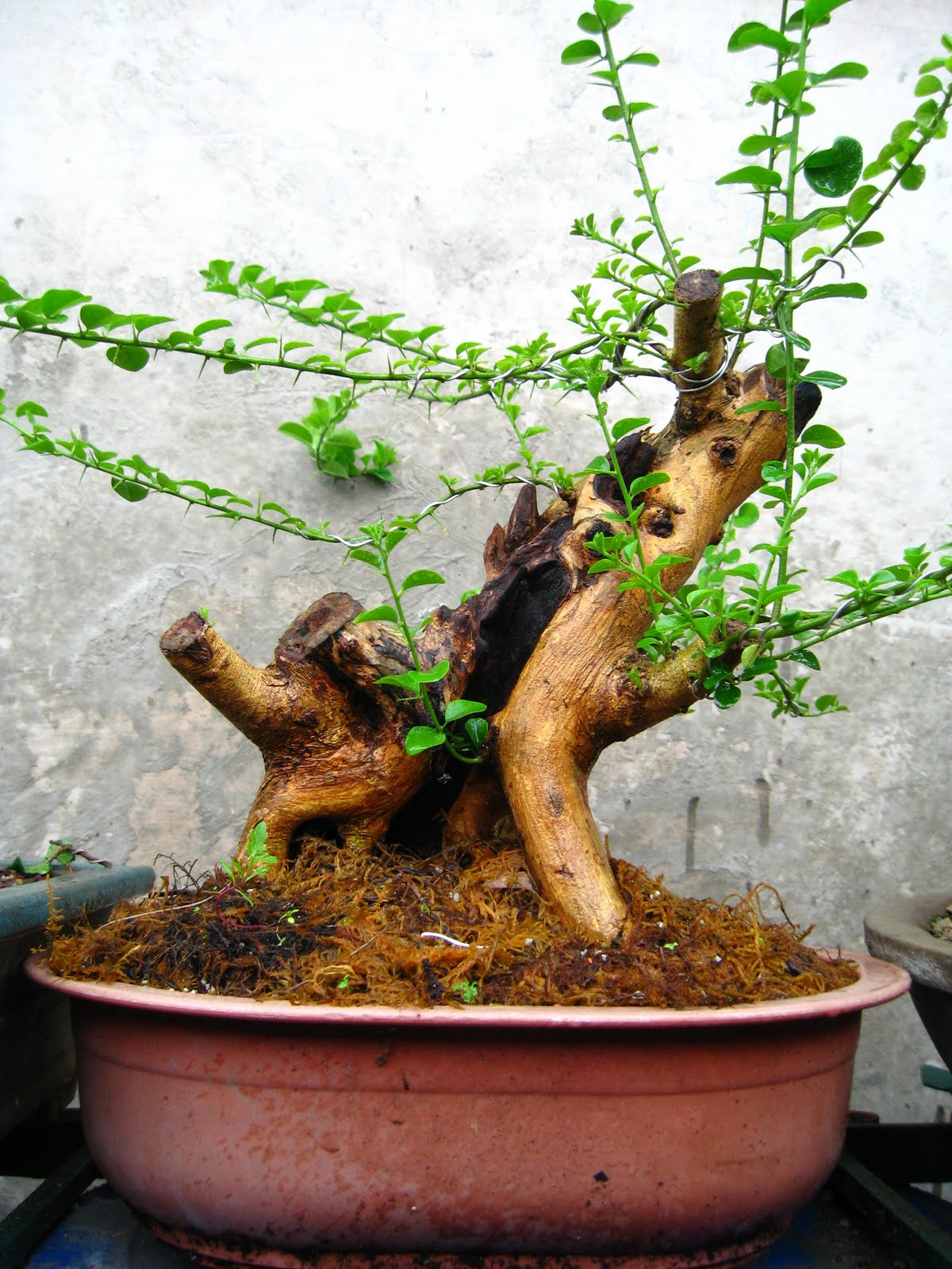Bonsai Utopia