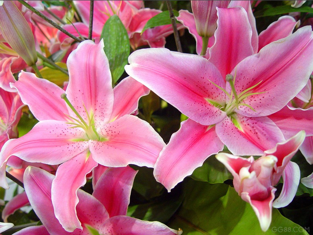 lily flower plant images  reverse search, Beautiful flower