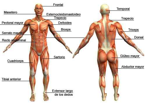 Cuantos Musculos Tiene el Cuerpo Humano