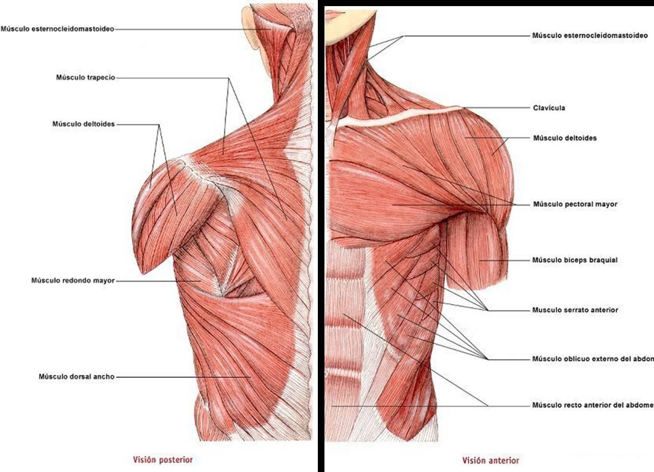 Moderno Diagrama De Los Músculos Del Torso Inspiración - Anatomía de ...
