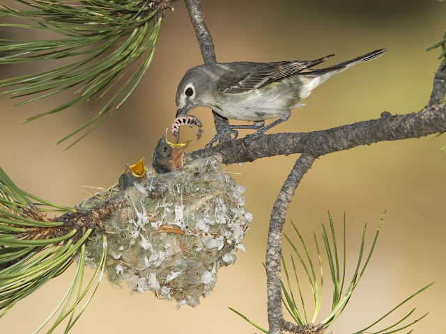 Plumbous Vireo Mother wallpaper