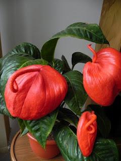 Jardineria, Catalogo de Plantas: Anthurium scherzerianum