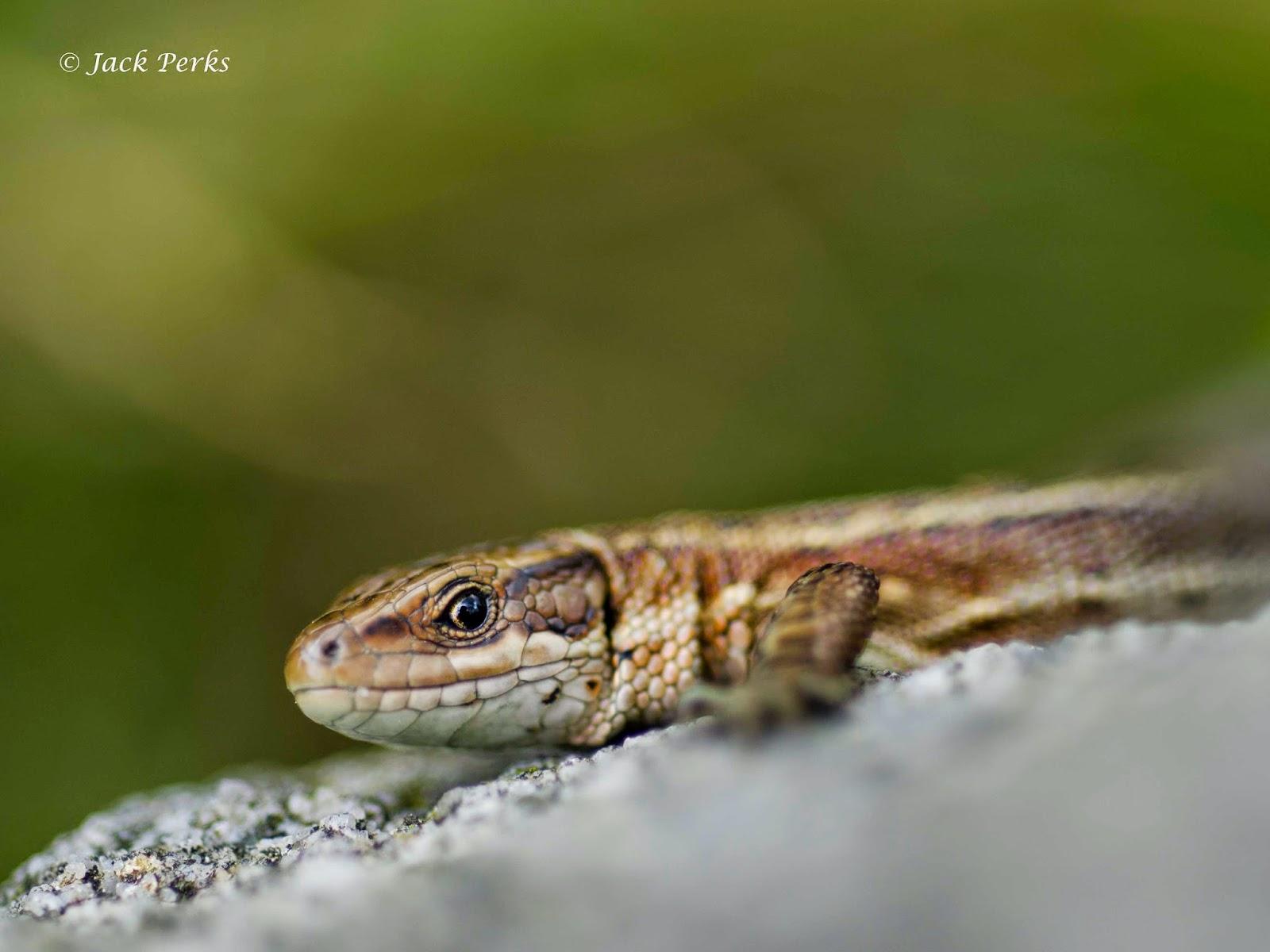 U S Lizard Jack Perks Phot...