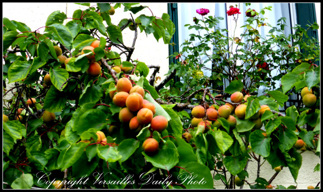 abricotier Versailles apricots