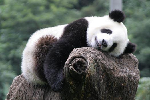 Panda Anime Love Panda Beer Animal Picture