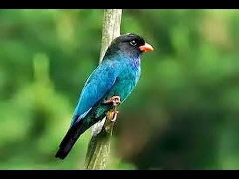 Foto Burung Tengkek Buta Terbaik