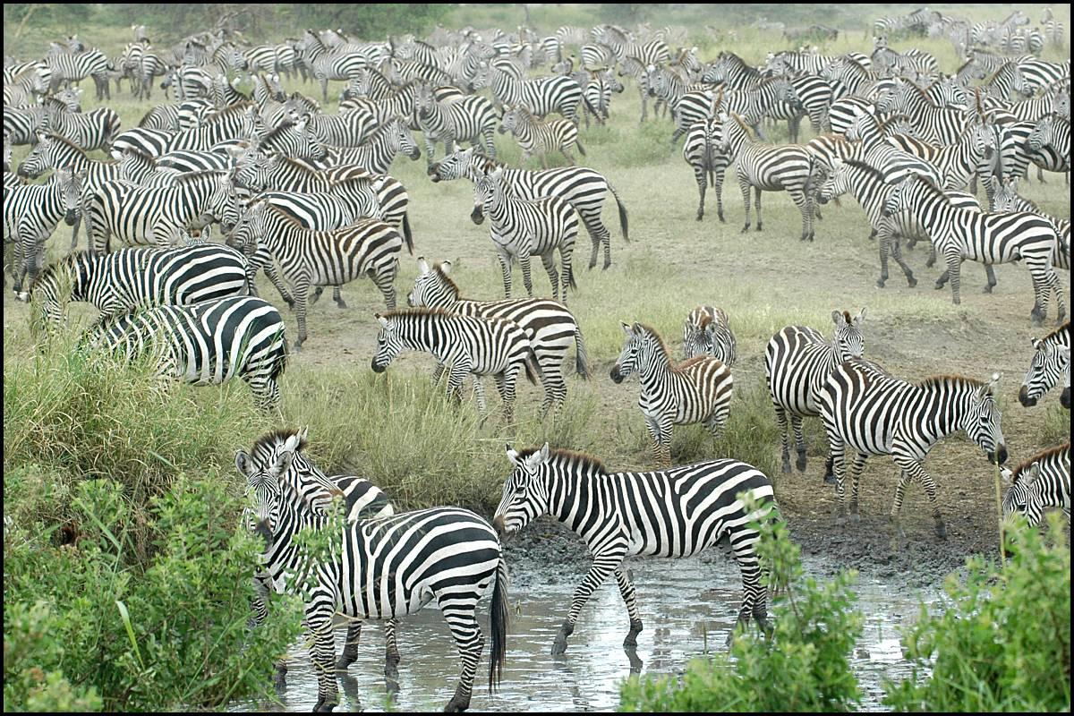 http://2.bp.blogspot.com/-GjIFEIHyWSk/Tz-AiD9381I/AAAAAAAAMFY/-10hKLB7Mi0/s1600/Zebra+1.jpg