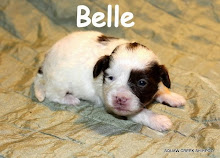 Belle - brown and white