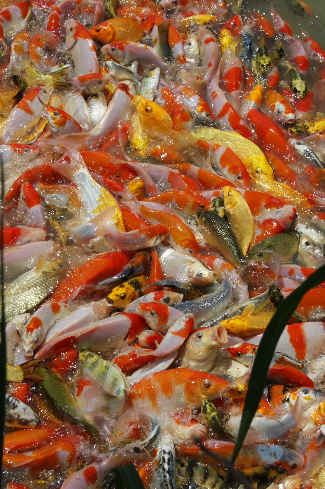 The blackwater blog butterfly koi for sale at blackwater for Niigata koi food