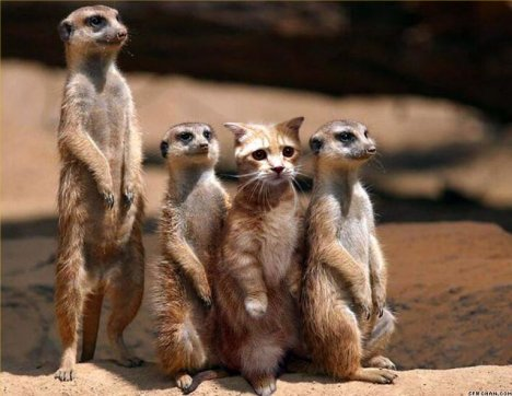 Frauds Cat with meerkats D19