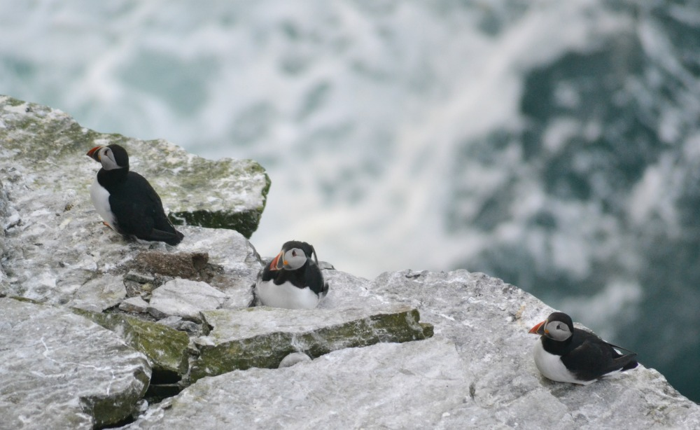 puffins birsay orkney