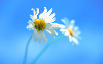 Windows 8 Official Daisy Flowers Desktop Wallpaper