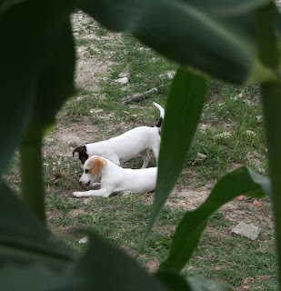 Spying on the girls between the corn leaves