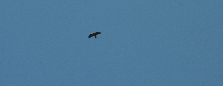 Eagle soaring overhead